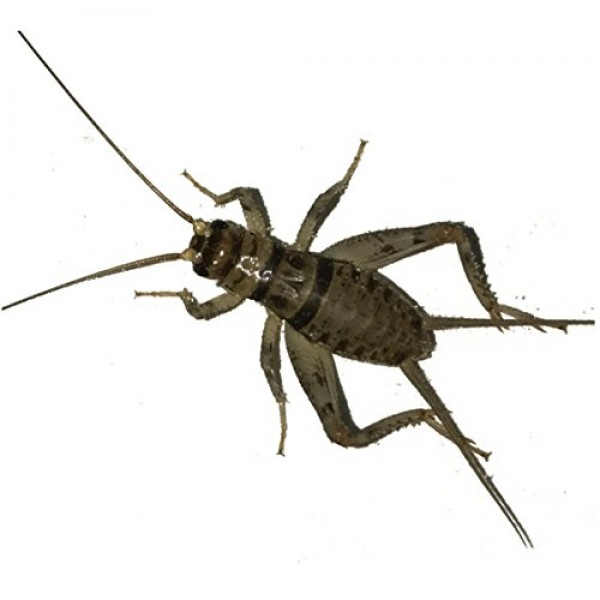 100 Live Banded Crickets Small 1/4 by BuyFeederCrickets