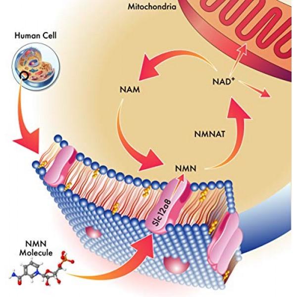 NMN Stabilized Form 500mg Serving Nicotinamide Mononucleotide Dir...