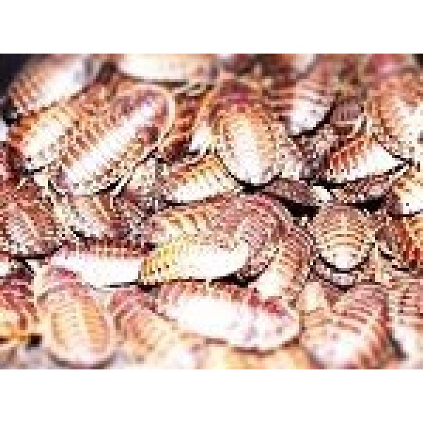 100 Small Dubia Roach Feeders 1/2